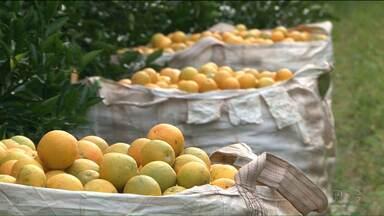 Safra da laranja é um dos destaques do Caminhos do Campo - Apesar da redução na área plantada, mas o preço maior pago ao produtor está aquecendo o mercado.