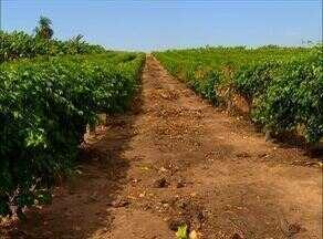 Momento do Agronegócio destaca a produção de maracujá no Tocantins - Momento do Agronegócio destaca a produção de maracujá no Tocantins