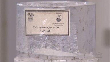 Pesquisadores da Fiocruz descobrem transmissão do vírus da zika através da muriçoca - Estudo começou em outubro do ano passado e ainda está em andamento
