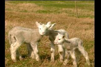 Um nascimento raro em Tuparendi, RS - Ovelhas quadrigêmeas nasceram em propriedade do interior.