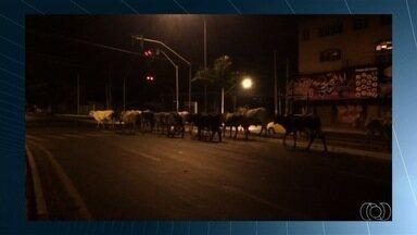 Vídeo mostra mais de 10 vacas soltas em avenida movimentada de Goiânia - Imagens mostram rebanho tomar por completo uma das pistas da via. PM orienta que, em casos como este, deve ser acionada para evitar acidentes.