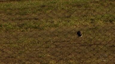 Pássaros são comuns na região do aeroporto internacional de Campo Grande - Na maioria das vezes, essa aproximação deveria ser evitada com cuidados simples.
