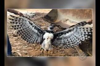 Um gavião real foi encontrado ferido na rodovia Transamazônica - Espécie está em extinção.