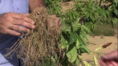 Saiba como evitar o enovelamento das raízes de café - Quando a raiz não tem mais para onde se desenvolver ela começa a se enrolar e começa a matar as plantas. É importante cortar a base do saquinho da muda e fazer uma cova profunda.
