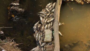 Peixes morrem no Rio Coxipó por falta de oxigênio na água - Peixes morrem no Rio Coxipó por falta de oxigênio na água.