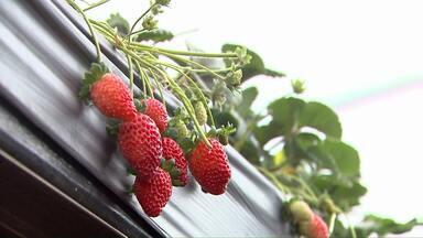 Produtores de morangos estão satisfeitos com safra - Nos supermercados, consumidores fazem a festa.
