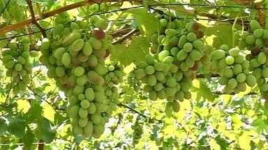 Produtores apostam em novas variedades de uva - Antonio Polachini está todo orgulhoso das uvas que plantou em Palmeira d'Oeste (SP). Ele está na atividade há mais de 30 anos e vem apostando em novas variedades. Ele contou para o Nosso Campo que será a primeira colheita da uva vitória.