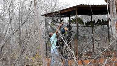 Mais de cinquenta papagios da espécie 'Papagaio-verdadeiro' são libertados pela PF - Espécie é uma das aves mais traficadas no Brasil.