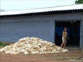 Produtor de Paraíso do Tocantins perde mais de 45 mil frangos por queda de energia - Produtor de Paraíso do Tocantins perde mais de 45 mil frangos por queda de energia