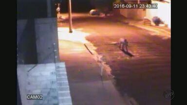 Câmera de segurança flagra lobo no centro de São Carlos, SP - Animais soltos em vias públicas colocam motoristas em risco.