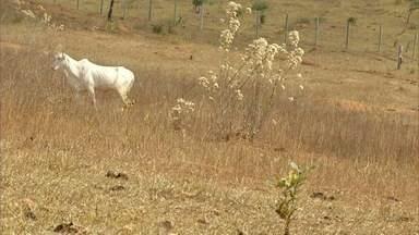 Quase 90% das pastagens do Norte de MG já não dão conta de produzir alimento para o gado - E para ajudar os produtores, a Emater e Universidades se uniram.