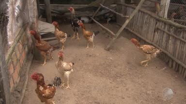 Produtores investem na criação de aves da espécie 'índio gigante' - O preço de um galo dessa espécie pode chegara a R$ 5 mil.