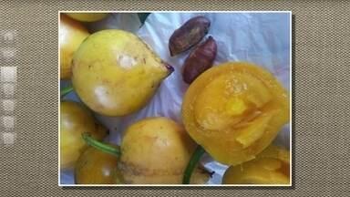 Árvore produz frutos propícios para o preparo de sucos ou geleias - Os frutos chamados de falso-mangostão, mangostão-amarelo ou bacopari são muito ácidos. Por isso, não são recomendados para o preparo de sucos.