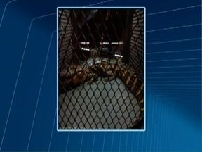Bombeiros capturam jacaré em Presidente Bernardes - Réptil tem aproximadamente 1,5 metro.