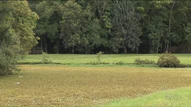 Lago do parque Tingui está desaparecendo - A água foi coberta por vegetação que parece grama.