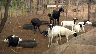 Saiba quais as causas do problema de retenção de crias em ovelhas - Alimentação pode ser a solução para animais com problemas.