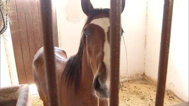 Criadores do Norte de Minas investem em cavalo Mangalarga - Raça também é boa para lida na fazenda.