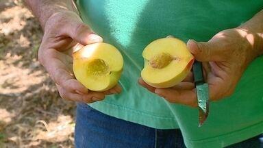 Produtores de pêssego e nectarina do Sul de SC comemoram boa safra - Produtores de pêssego e nectarina do Sul de SC comemoram boa safra