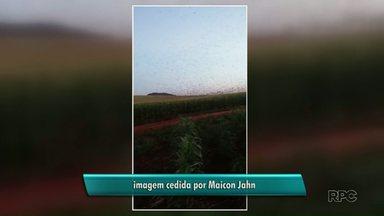 Telespectador registra revoada de andorinhas em Itapejara do Oeste - O vídeo foi feito pelo Maicon Jahn que mora na cidade.