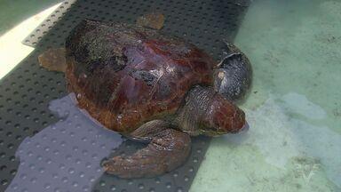 Tartaruga é submetida a procedimento delicado para retirar pretrecho de seu estômago - Equipe de biólogos realizou diversos exames antes de puxar objeto para fora do corpo do réptil.