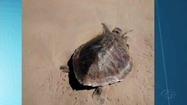 Quatro tartarugas marinhas foram encontradas mortas nas praias de Maceió - De acordo com o Instituto Biota, mortes aconteceram porque os animais encalharam na areia no período da desova.