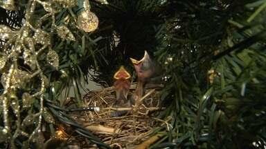 Conto de Natal tem final surpreendente - Tico-ticos em árvore de Natal de São Carlos