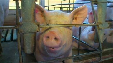 Produção de carne suína cresce em 2016 no RS - Mesmo assim, o ano não foi de comemoração para os criadores. O alto custo dos insumos reduziu a lucratividade.