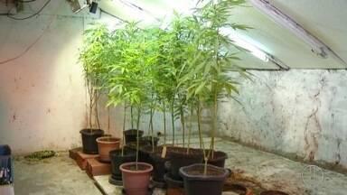 PM encontra cultivo de maconha dentro de casa em Petrópolis, no RJ - Homem de 48 anos foi preso e assumiu que cultivava a planta há 3 anos.