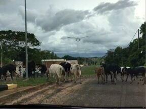 Repórter registra travessia de dezenas de bois em estrada de Panorama - Animais estavam soltos e podem gerar riscos aos motoristas.