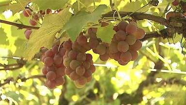 Feira da Uva começa amanhã, em Ponta Grossa - Programação segue até domingo. Além da uva, também serão vendidos produtos da agroindústria caseira.