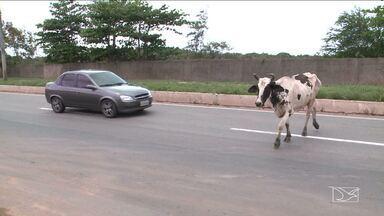 Animais soltos são flagrados na Avenida dos Africanos de São Luís - Animais soltos são flagrados na Avenida dos Africanos de São Luís