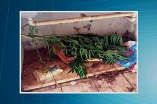 PM apreende pé de maconha em imóvel abandonado em Uberaba - Ocorrência foi registrada nesta quinta-feira (9). Ninguém foi preso.