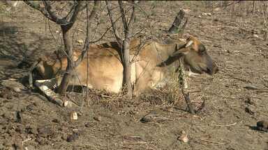 Vacas morrem de forma repentina e causam prejuízos na Paraíba - Casos estariam acontecendo no Sertão do Estado
