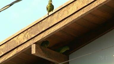 Maritacas invadem os forros das casas em Cianorte - A Secretaria do Meio Ambiente de Cianorte recebe, em média, 40 ligações por semana de moradores que encontraram ninhos de maritaca no telhado.