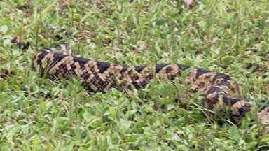 Em Sete Barras, moradores encontram espécie rara de serpente - A cobra já era estudada por um biólogo do Museu de Zoologia da USP.