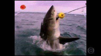 Reveja alguns encontros com tubarões no Caldeirão - Ao longo dos 17 anos de programa, o Caldeirão se encontrou diversas vezes com tubarões em alto mar. Reveja alguns desses momentos