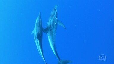 Caldeirão mostra vídeo inédito de embate entre golfinhos e tubarões - Confira esse encontro inédito