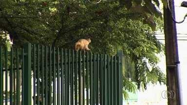Especialista alerta que macacos não transmitem a febre amarela, em Goiás - Pessoas chegaram a matar animais com medo da transmissão, mas perigo está no mosquito.