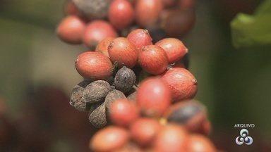 Colheita do café conilon deve ser 22% maior este ano, diz Conab - Devem ser colhidos dois milhões de sacas em 2017.