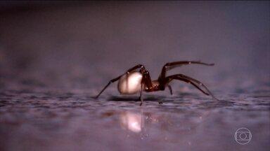 Paraná enfrenta infestação da aranha marrom - Ela é pequena, mas é muito perigosa. E o risco pode estar dentro de casa. Sônia, foi picada por uma aranha marrom e ficou três meses em tratamento por causa do veneno.