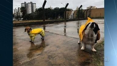 Cachorros usam capa para passear na chuva, em Goiânia - Tempo ruim não impediu que os animais dessem uma volta.