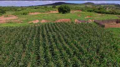 Por causa da seca, a produção de milho no município de Cedro está caindo - A situação é pior nas áreas de sequeiro.