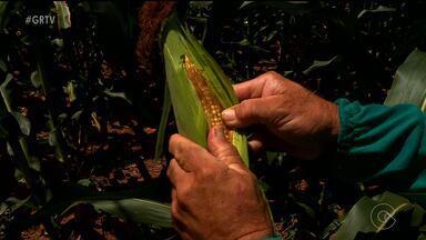 Seca atinge o maior produtor de milho do Sertão de Pernambuco - No município de Cedro, a produção do grão vem caindo ano a ano. A situação é ainda pior nas áreas de sequeiro.