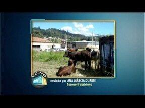 VC no MGTV: Moradora reclama de animais soltos em Coronel Fabriciano - Praça no Bairro Belvedere virou pasto para bois e vacas.