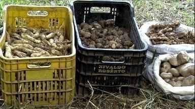 Sistema de agrofloresta é aposta para a reestruturação de fazenda em SP - Propriedade investiu na produção da árvore guanandi e de alimentos pouco conhecidos como araruta, mangarito e cará-moela no Vale do Paraíba.