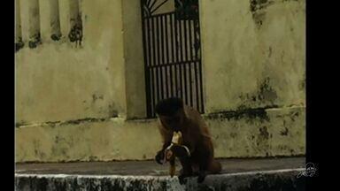 Macaco 'tira sossego' de moradores de Granja, denuncia moradora - Macaco 'tira sossego' de moradores de Granja, denuncia moradora