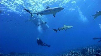 Equipe do Globo Repórter nada entre dezenas de tubarões na Micronésia - Yap, um dos estados federados da Micronésia, é o paraíso dos tubarões. A bordo de canoas, moradores fazem longas e arriscadas travessias.
