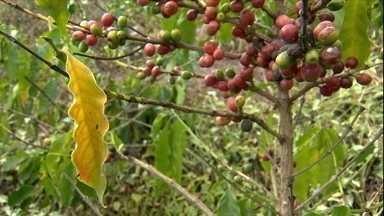 Folhas secas do café podem indicar problema no solo - O ideal é replantar a raiz e tomar os devidos cuidados para não ocorrer o mesmo problema. Veja como no vídeo.