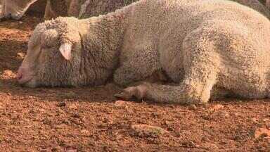 Saiba como entrar no ramo da criação de ovinos - Quadro 'Pergunte Ao Campo' dá dicas e responde as principais perguntas sobre o assunto.