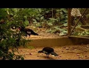 Projeto Mutum realiza soltura de 50 jacutingas na natureza - Espécie ameaçada de extinção foi solta no Leste de MG.